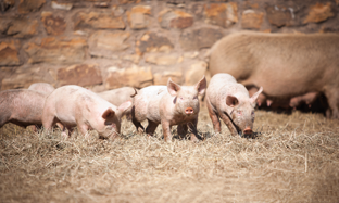 Parasite control in swine