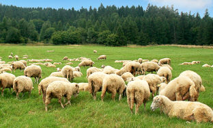"""Autumn disease"" in sheep and goats and how to treat it."