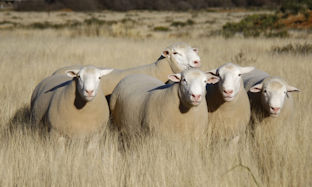 Preparing Rams for Mating Season