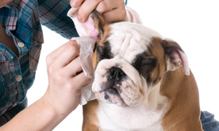 Dog otitis : symptoms and care