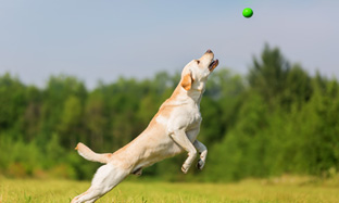 Dog osteoarthritis: what to do? What nutrition to choose?