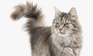 Chronic renal failure in cats: how to know if my cat is infected and how to treat him?