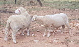 Nasal worm Infestation in Sheep and Goats