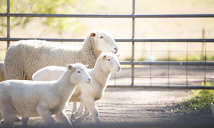 Faecal Egg Counts as Management Tool in Sheep