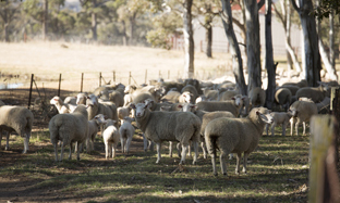 How Multimin<sup>®</sup> for Sheep and Goats Supports  Healthy Livestock