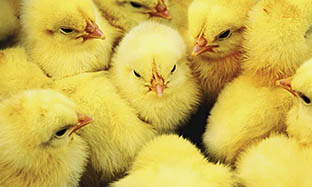 Calgophos – Cost-Effective and Mineral Supplementation for Layers, Breeders, and Broilers